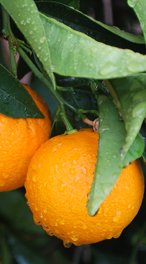 Appelsiner i Altea